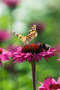 Vanessa cardui - Painted lady butterfly and Bumble bee on an Echinacea flower