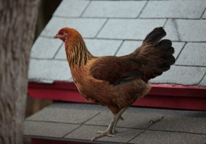 Another Araucana Chicken Standing On The Room Of Her Chicken Coop