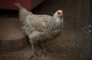 Lavender Araucana Chicken