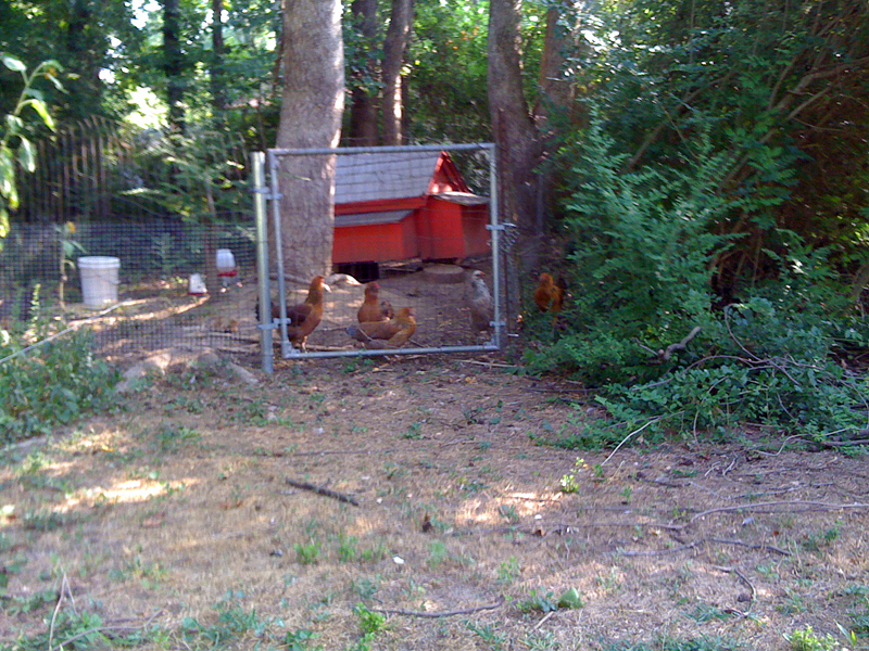 Chicken In The Yard