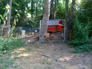 Chicken In The Yard 06