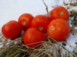 Tomatos in the winter