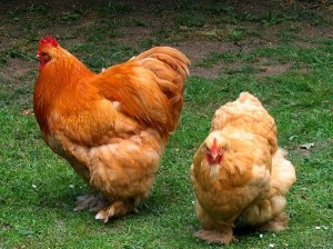 Dual Purpose Chickens