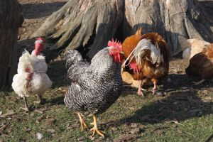 Keep Backyard Chickens Safe