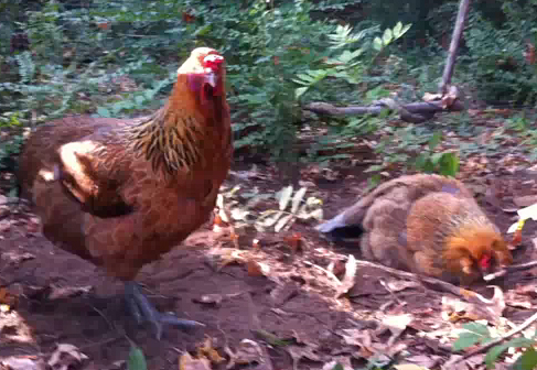 Chickens Taking a Dust Bath