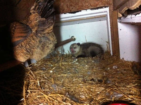 Possum in the Chicken Coop