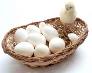 baby chicks and eggs