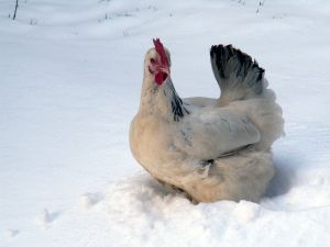 chicken in the snow - Photo: Christian Ludwig