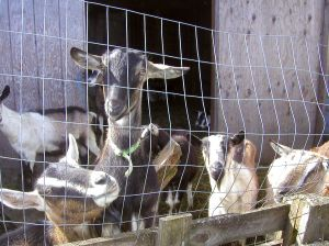 goats in pen
