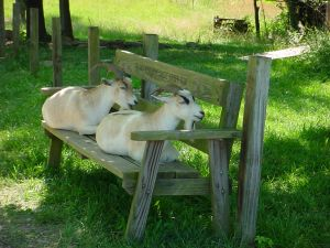 Keeping Goats In The Backyard Is Something That More And More People Are  Thinking About Doing. Given The Current State Of The Economy, ...