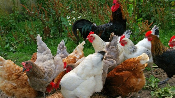 Chickens Eating Photo: KRiemer
